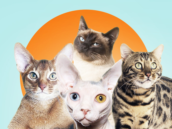 Ответы Mail.ru: Как называется порода полосатых кошек, которых ... | 525x700